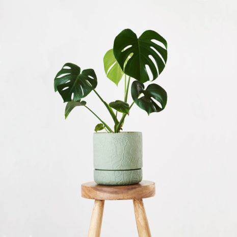 Fruit Salad Plant (Monstera Deliciosa)