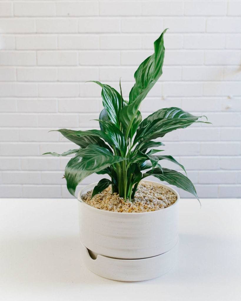 Angus & Celeste Self Watering Plant Pot in Mid White Speckle photographed by Rae Fallon for Stackwood. If you're interested to see how to pot up a Peace Lily in a Self Watering Plant Pot, check out our guide here!