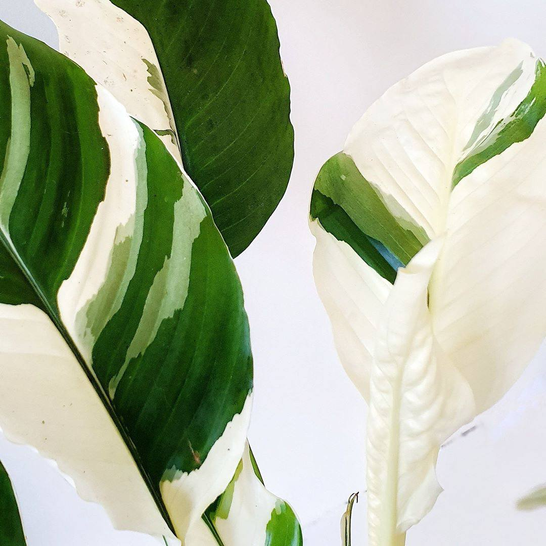 Have you ever seen a variegated Peace Lily? Now you have! This is a variety known as 'Picasso', photographed by Kate at @kateandfinn_vs_plants. Check out that pure white leaf unfurling!